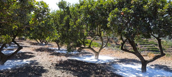 masticha stromy chios chioska řečí lentišek mastichový strom