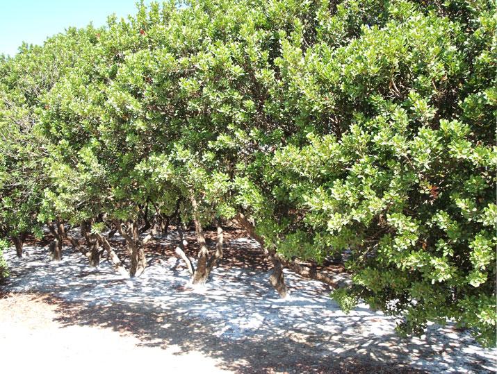 Mastichový háj masticha co je  mastichové surové slzy stromy řečí lentišek