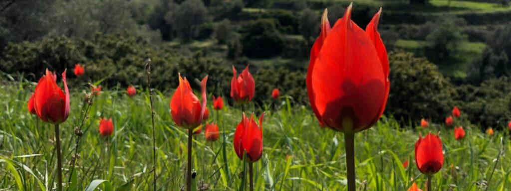 Divoké tulipány, Chios mastichový háj